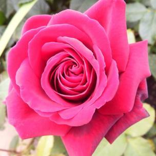Pink rose in Botanic Gardens in Edinburgh.