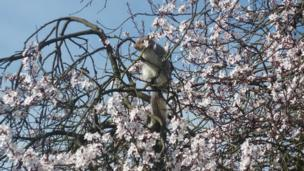 A squirrel sits amongst the blossom