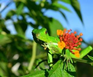 Una pequeña iguana verde