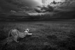 A black and white image of a lioness stretching.
