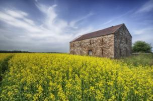 Rapeseed crops and a barn