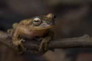 사진가 아차파는 인도 남서부 카르나타카 밀림 지역에 서식하는 노란 관목개구리(Coorg yellow bush frog)를 찍었다.