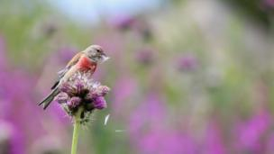 a linnet sits on a thistle
