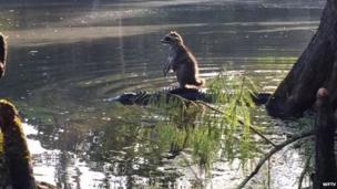 Raccoon on alligators back