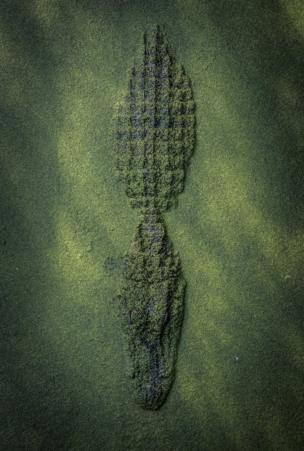 An alligator coming through the surface of water.