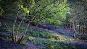 Blooming bluebells in Snowdonia was taken by Gwen Roberts on her evening stroll near Penrhyndeudraeth