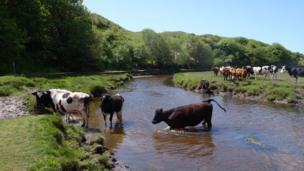 Cows in a river near Three Cliffs Bay