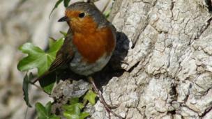 Robin at Blackpill