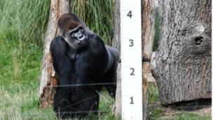 A male Gorilla