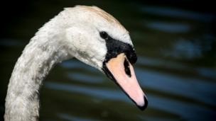 A mute swan at Sourlands Pool at Farnborough Hall