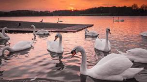 Swans at Cosmeston Lake in Vale of Glamorgan
