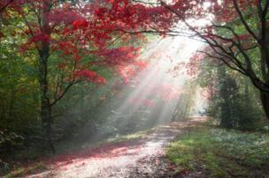 Los rayos del sol matutino a través de coloridos arces japoneses