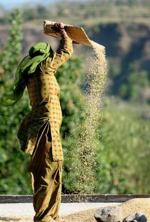 A woman throws wheat