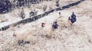 Gweld y ceiliog a'r ieir? // Time for our spot the poultry competition