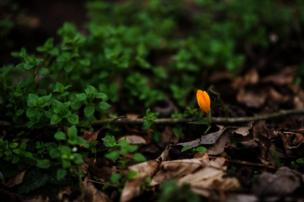 A sole orange bud on the forest floor