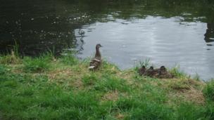 Sleeping ducklings