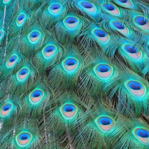 Peacocks tail