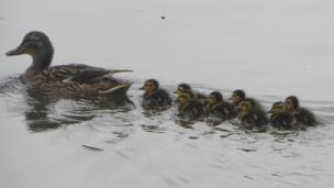Ducklings with their mum at the Penclacwydd wetlands, Llanelli, as seen by Dianne Browne.