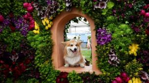 "Marcel ""Le Corgi"" perches his paws on a display"