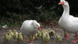 Goslings at Sandford Lock