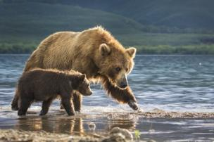 Two bears wade in the river.