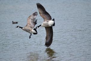 أوز كندي يطارد أوزة أخرى في بحيرة كوليدج ليك