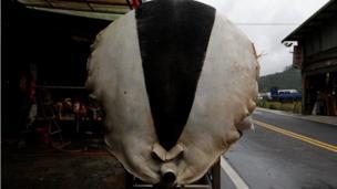 Xác heo được mổ phanh và căng ra trên khung kim loại tại quận Sanxia, ở Tân Đài Bắc, Đài Loan, 0/02/2017.