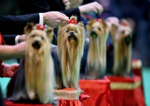 """مجموعة كلاب من فصيلة """"تيرير يوركشاير"""""""
