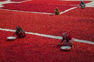 Women drying chilli crops