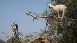 Goats on a tree