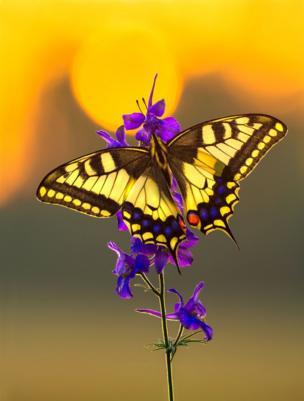 Mariposa al atardecer