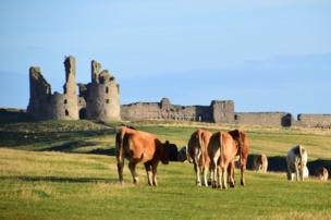 Cows stand in front of Dunstanburgh Castle.