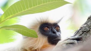 A Gee's golden langur sits on a branch and looks into the distance