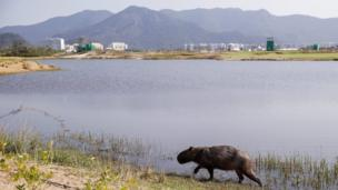 A capybara walks along the shores of a lake during a training session at the Olympic Golf Course