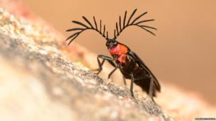 beetle waving its antennae to sniff out females