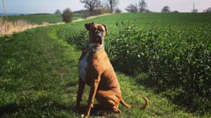 Buster the boxer dog enjoying the sunshine in Ruabon, Wrexham, by Sally Bottomley.