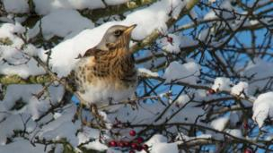 A garden bird in a snowy tree