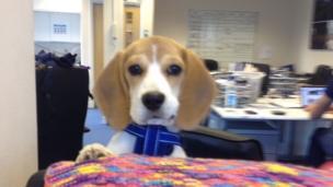 Amber the Beagle