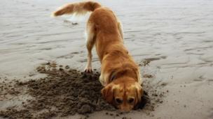 Eddie the golden retriever enjoying a day out on the beach at Southerndown near Bridgend