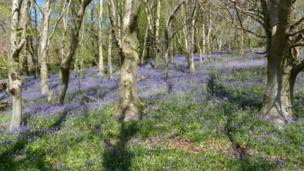 Bluebells in the woods of Graig Llanishen