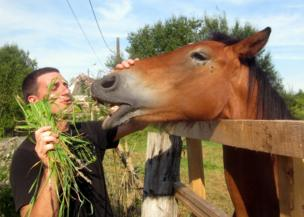 A horse is fed grass