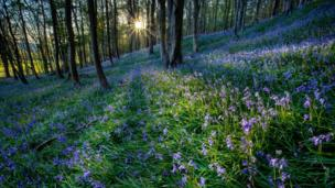 Sunshine through the trees in a wood of bluebells