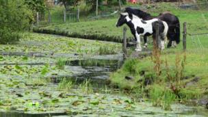 Horses along the Neath canal