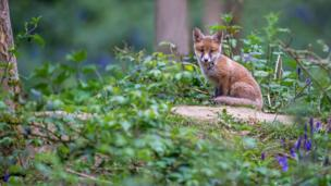A fox cub in north-west Oxfordshire woods