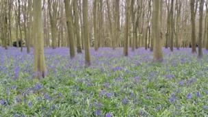 Bluebells at Badbury