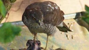 Samantha May: A sparrowhawk in the garden
