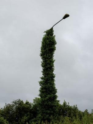 The shaft of a lamppost is covered by the growth of a wild shrub, North Esk, County Cork