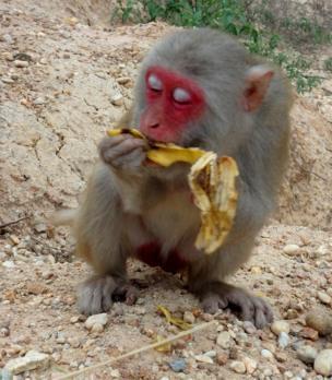 Mono comiendo una banana.