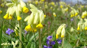 Cowslips and violets