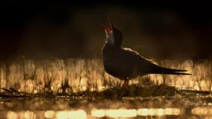Calling Tern by Ondrej Pelanek
